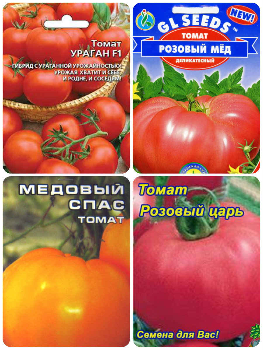 We select the best seeds of self-pollinated tomatoes for the